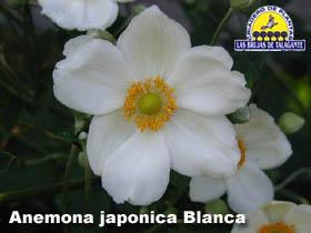Anemona japonica blanca detbweb1 copia.jpg