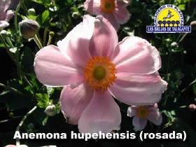 Anemona hupehensis rosada det1web1 copia.jpg