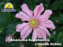 Anemona hupehensis rosada doble det2web1 copia.jpg