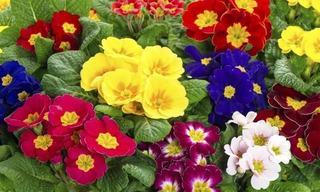 Orejas de Oso flores bajaV.jpg