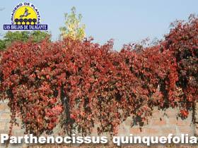 Partenocissus quinquefolia pan1otocopia.jpg