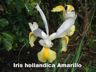 Iris hollandica blanco con amarillo det flor1.jpg