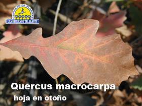 Quercus  macrocarpa det2otoob.jpg