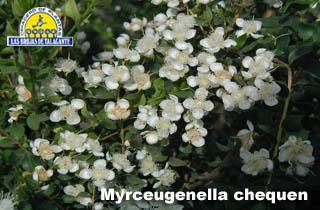 Myrceugenella chequen det1alta.jpg