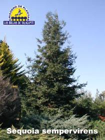 Sequoia sempervirens pan1b web1 copia.jpg