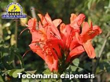 Tecomaria capensis det1florb_2 copia.jpg