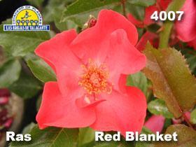 Rosa 4007 Red Blanket  det1 copia.jpg
