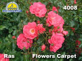 Rosa Ras 4008 Flowers Carpet det3 copia.jpg
