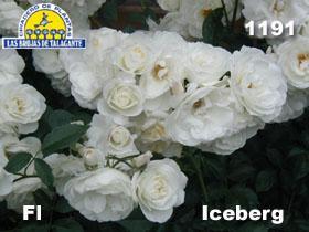 Rosa 1191 Iceberg copia.jpg