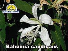 Bahuinia candicans det2b copia.jpg