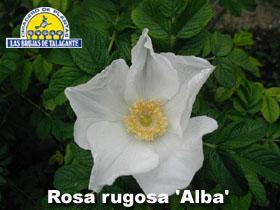 Rosa rugosa alba det1 copia.jpg