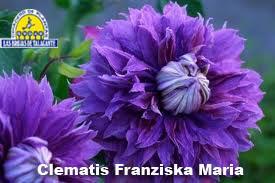 Clematis Franziska Maria det3.jpg