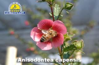 Anisodontea capensis det3.jpg