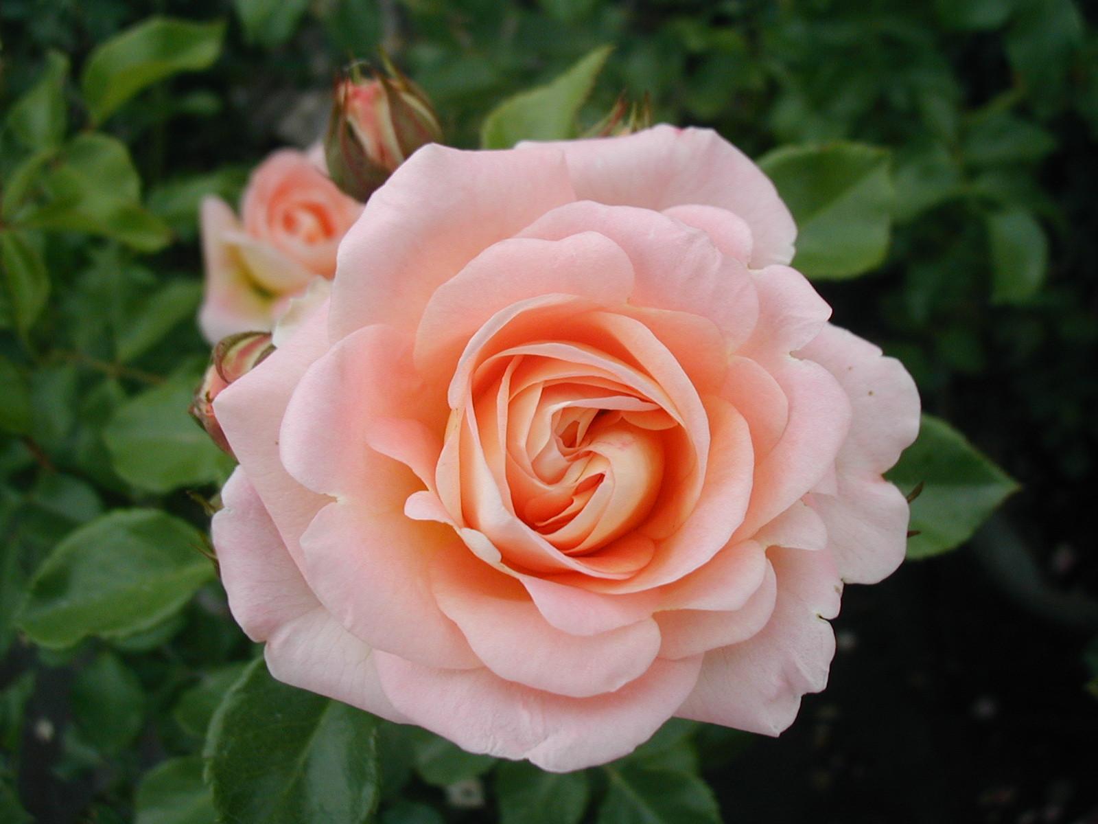Rosa 1234 Daylight det1flor.JPG