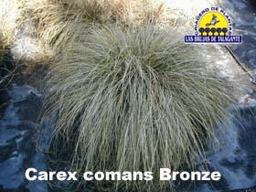 Carex comans Broze pan1alta copia.jpg