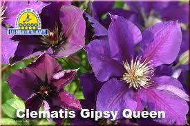 Clematis Gipsy Queen det11.jpg