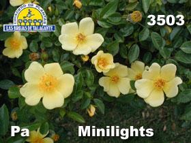 Rosa Pa 3503 Mini lights det2 copia.jpg