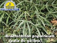 brachichiton__pata_de_gallina__det1hoja_copia.jpg