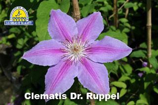 Clematis Dr. Ruppel det3 IMG_9514.jpg
