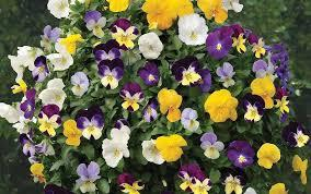 Violas mini pan.jpg