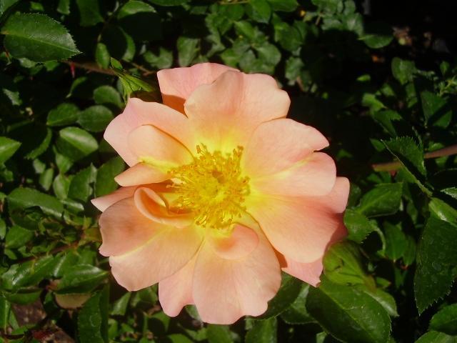 Rosa 1246 Freetime det.JPG