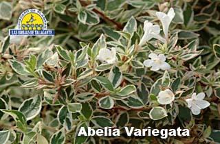 Abelia grandiflora variegata 21.jpg