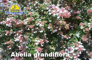 abelia grandiflora12.jpg