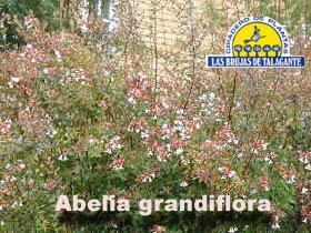 abelia grandi flora copia.jpg