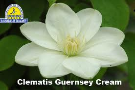 Clematis Guernsey Cream det1.jpg