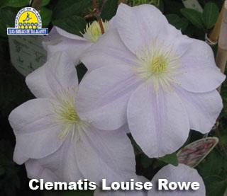 Clematis Louise Rowe det1.jpg