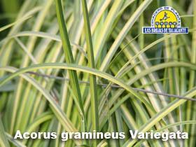 Acorus variegata pan hojas14.jpg