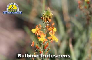 Bulbine frutescens webdet flor13.jpg