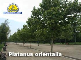 Platanus orientalis pan2.jpg