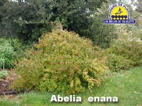Abelia enana pan1 copia.jpg