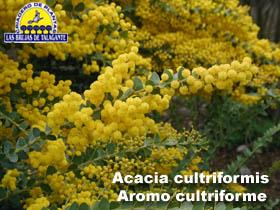 Acacia cultriforme web1 copia.jpg