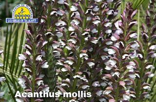 Acanthus mollis pan flores46.jpg