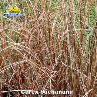 Carex buchananii 1.jpg