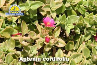 Aptenia cordifolia  italia 14 301.jpg