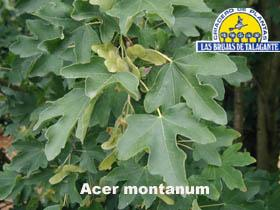 Acer montanum det1alta copia.jpg