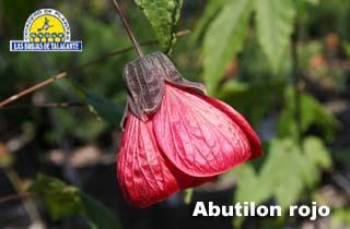 Abutilon rojo det flor 803.jpg