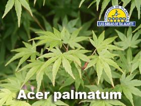 Acer palmatum det hojas.jpg