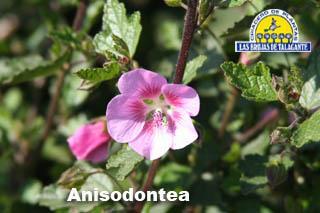 Anisodonthe rastrera det flor1.jpg