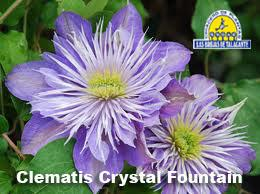 Clematis Crystal Fountain det5 .jpg
