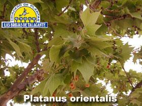 Platanus orientalis det1hoja copia.jpg