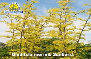 Gleditsia inermis Sunburt Aurea det1.jpg