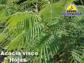 Acacia visco det1hojas.jpg