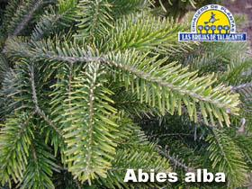 Abies alba det1hojaa copia.jpg