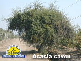 Acacia caven pan1 copia.jpg