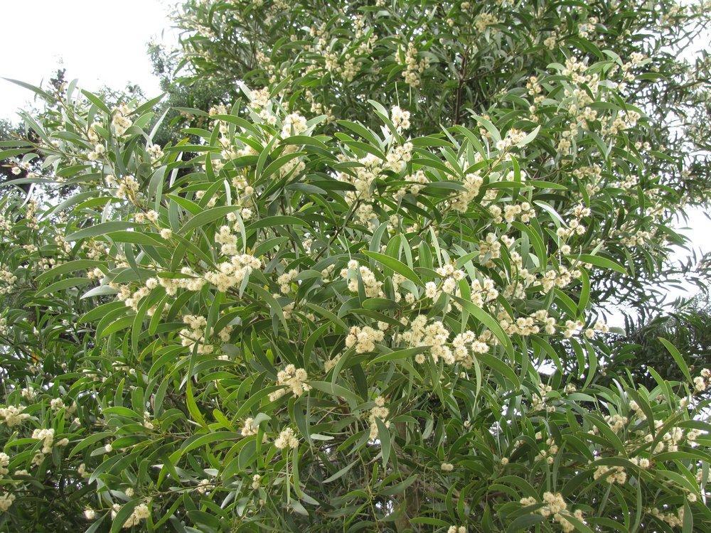 Acacia Melanoxylon_38.JPG