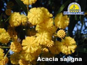 Acacia saligna det1floraa.jpg